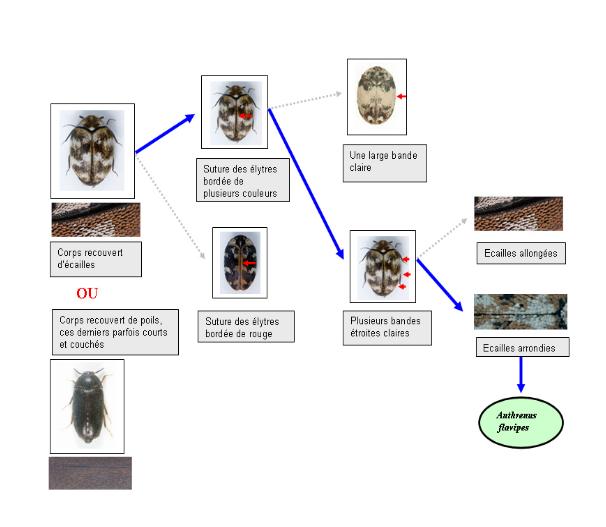 Identifier les insectes dangereux pour les œuvres patrimoniales